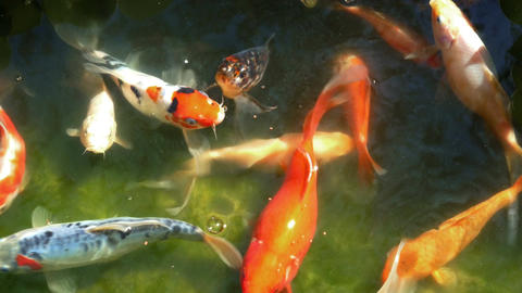 Multicolored Ornamental Fishes Pond Water Footage