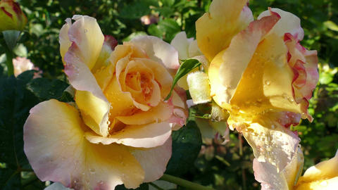 Lovely Hybrid Tea Footage