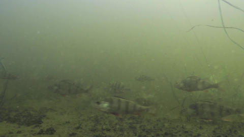Long shoal of perches, bass or Perca fluviatilis in large European river Dnieper Footage