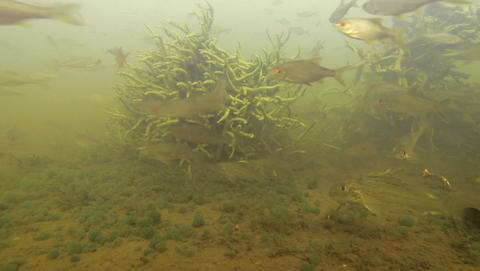 Curious freshwater fishes. Uzh river bottom landscape. Roach or Rutilus rutilus, Footage