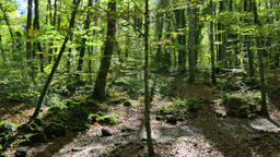 Beech Fields in Early Autumn Panoramic View Footage