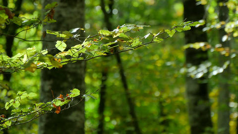 Beech Forest Branches with Leaves in Early Fall Footage