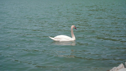 The average plan. A beautiful white swan swims in a beautiful turquoise lake Live Action
