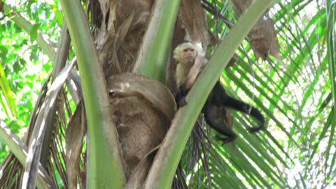 A white faced capucin monkey sits in a palm tree i Footage