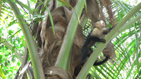 A white faced capucin monkey sits in a palm tree i Stock Video Footage