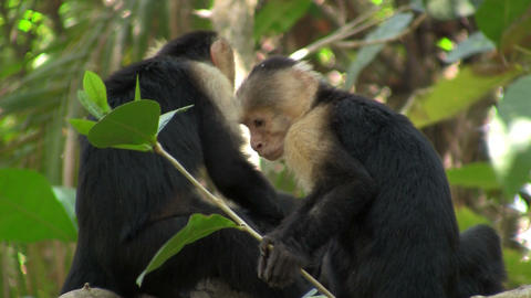 White-faced capucin monkeys play in a palm tree in Stock Video Footage
