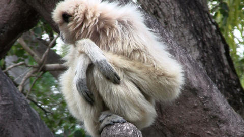 A white handed gibbon sits in a tree Stock Video Footage