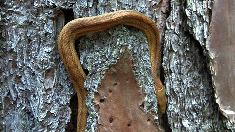 A yellow rat snake slithers through a tree in the Stock Video Footage
