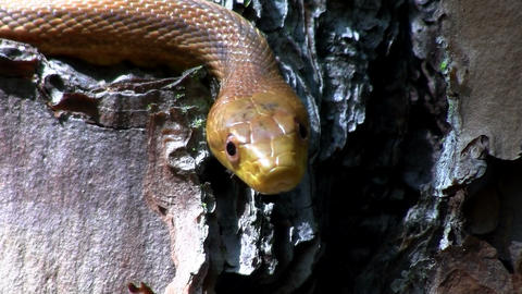 A yellow rat snake slithers through a tree in the  Footage