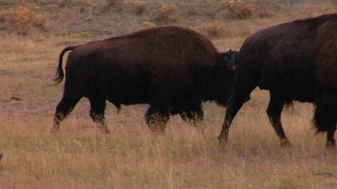 Buffalo graze in Yellowstone National Park, Wyoming Stock Video Footage