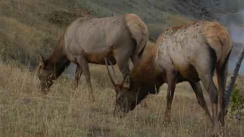 elks graze in a dry field Stock Video Footage