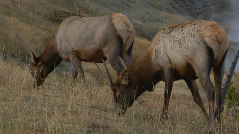 elks graze in a dry field Stock Video Footage