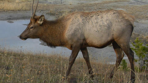 An elk grazes near a natural hot spring in Yellowstone National Park Footage