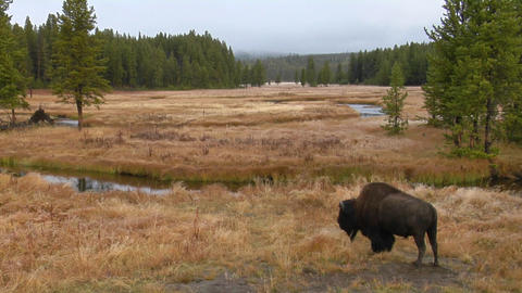 A bison grazes in a clearing at Yellowstone National Park Stock Video Footage