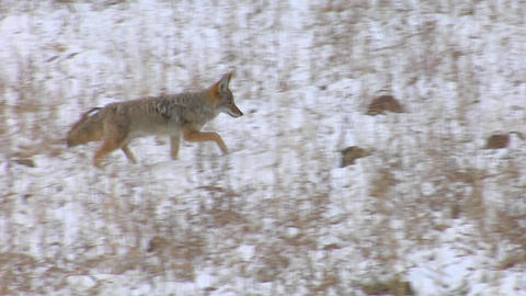 A coyote trots through the snowy plains Stock Video Footage