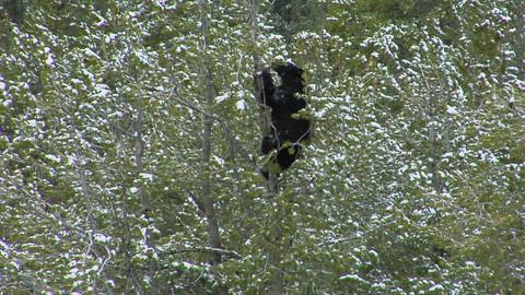 A black bear climbs a snowy tree Stock Video Footage