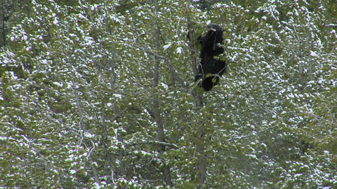 A black bear climbs a snowy tree Footage