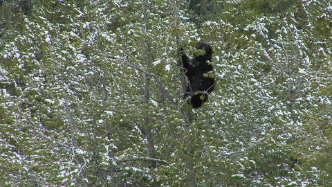 A black bear climbs a snowy tree Stock Video Footage