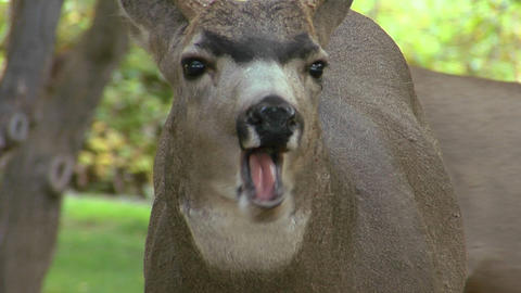 A deer casually chews some leaves Stock Video Footage