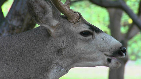 A buck mule deer licks his mouth as he chews some food Stock Video Footage