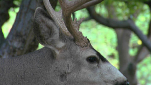A buck mule deer licks his mouth as he chews some food Footage