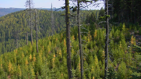Trees grow in an evergreen forest in the Rocky Mountains Stock Video Footage