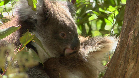 A koala bear sits peacefully in a tree Footage