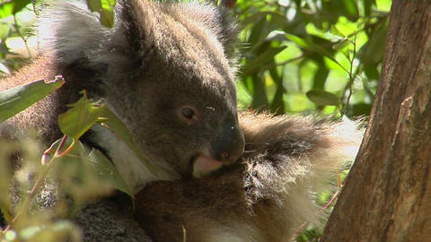 A koala bear sits peacefully in a tree Stock Video Footage