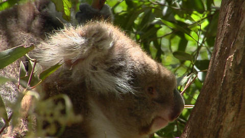 A koala mother carries her infant on her back in a... Stock Video Footage