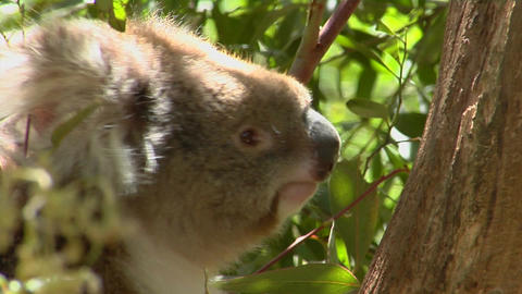 A koala mother carries her infant on her back in a eucalyptus tree Footage