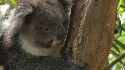 A koala climbs a eucalyptus tree in Australia Stock Video Footage