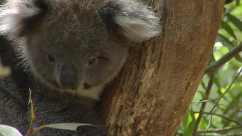 A koala climbs a eucalyptus tree in Australia Footage