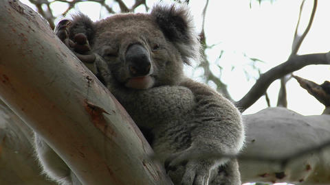 A sleepy koala bear looks down from a tree limb Footage