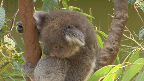 A koala bear sits in a Eucalyptus tree in Australia Footage