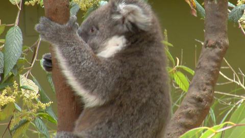 A koala bear sits in a Eucalyptus tree in Australia Stock Video Footage