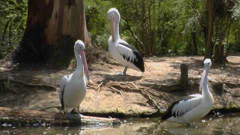 Australian pelicans meet at a watering hole Footage