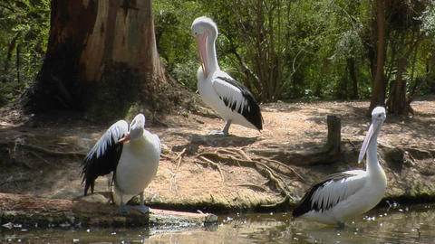 Australian pelicans meet at a watering hole Stock Video Footage