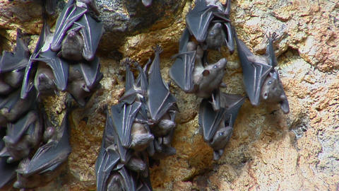 Bats hang on a wall at the Pura Goa Lawah Temple, or Bat... Stock Video Footage