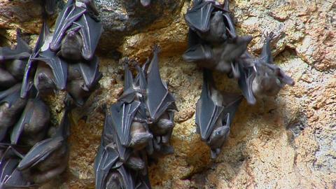 Bats hang on a wall at the Pura Goa Lawah Temple, or Bat... Stock Video Footage