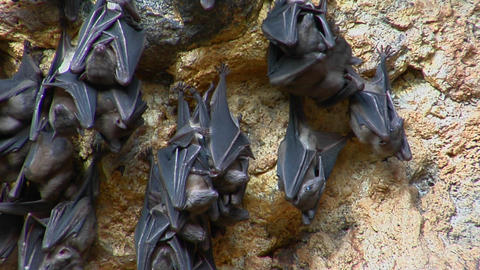 Bats hang on a wall at the Pura Goa Lawah Temple, or Bat Cave Temple in Indonesia Footage