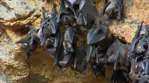 A groups of bats hang on a wall at the Pura Goa Lawah Temple, or the Bat Cave Temple in Indonesia Footage