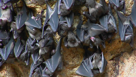 Bats hang on a wall at the Pura Goa Lawah Temple, or the Bat Cave Temple in Indonesia Footage
