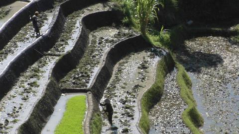 Farm workers hoe in terraced rice fields Footage