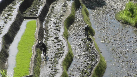 Farmers work in terraced rice field Footage