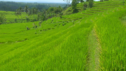 A breeze blows over a lush green terraced hill on a rice farm Footage