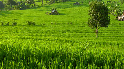 A breeze blows over a lush green terraced hill on a rice... Stock Video Footage