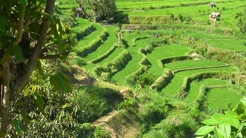 A terraced rice farm grows green fields Footage