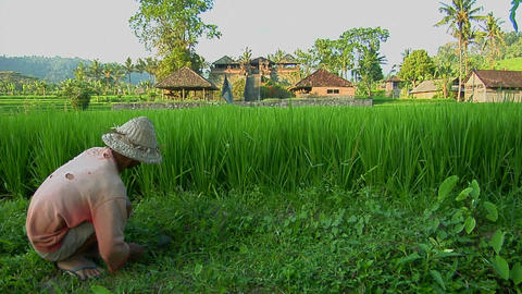 A worker gathers rice on a lush, terraced rice farm Stock Video Footage