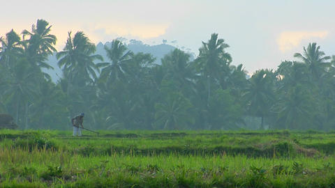 A man plows a field with a water buffalo in the rice... Stock Video Footage