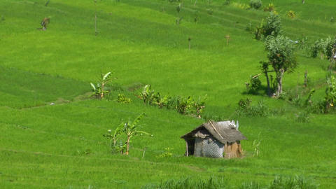 Wind blows across a lush green terraced rice farm Footage